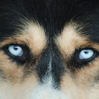 chien de traineau annecy